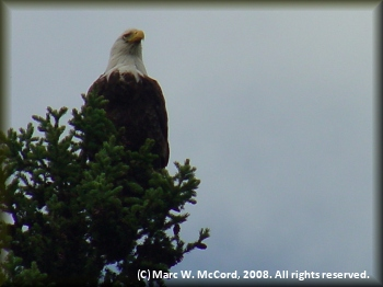 One of many bald eagles seen on the Teslin River