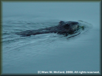 A beaver on the Teslin River