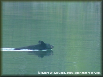 A black bear swimming toward our campsite at Hootalingua Village