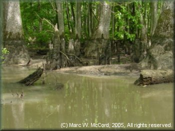 A typical Cypress swamp on the edges of Bayou deView