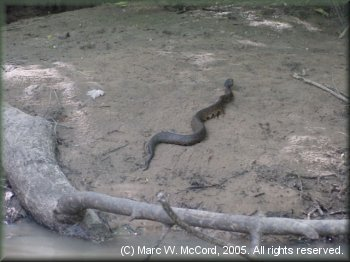 A water moccasin hurries away as we approach