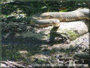 A broadbanded watersnake watches as we paddle nearby