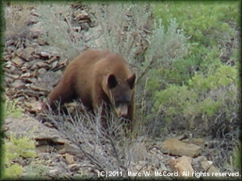 Black bear in Desolation Canyon